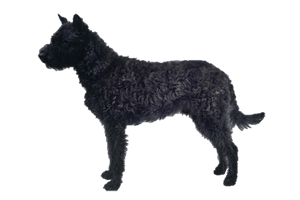 Wirehaired Dutch Shepherd