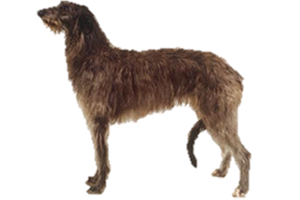 Scottish Deerhound